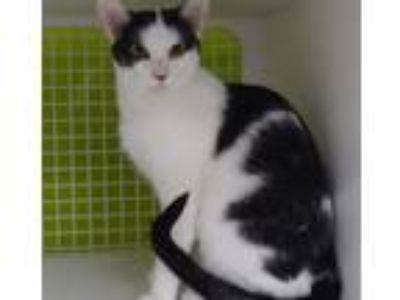 Adopt Scarlett a White (Mostly) Domestic Mediumhair (medium coat) cat in