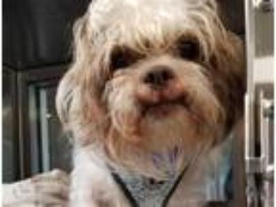 Adopt JAKE a White - with Brown or Chocolate Shih Tzu / Mixed dog in Grand
