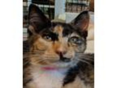 Adopt Coco a Calico or Dilute Calico Domestic Shorthair / Mixed (short coat) cat