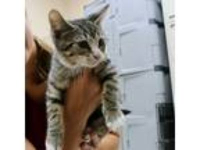 Adopt Risky a Brown Tabby Domestic Shorthair (short coat) cat in Wheaton