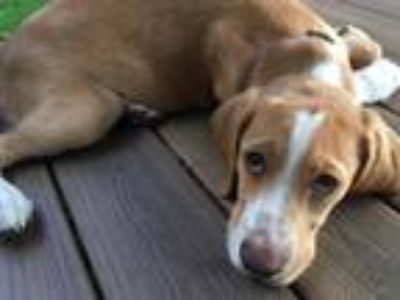 Adopt Simon a Retriever, Hound