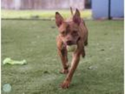 Adopt TRISTAN a Pit Bull Terrier, Mixed Breed