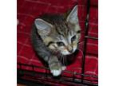 Adopt Wilbert a Brown Tabby Domestic Shorthair / Mixed (short coat) cat in North