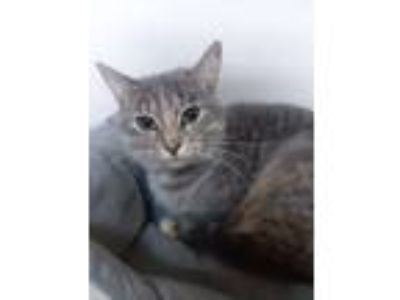 Adopt Sugar a Domestic Short Hair