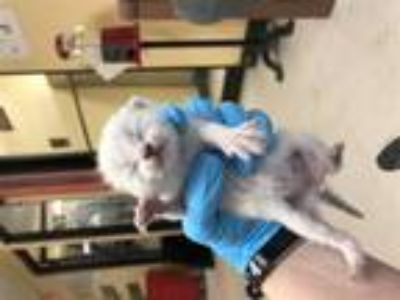 Adopt John Aka Blue a Domestic Shorthair / Mixed cat in Lake Jackson