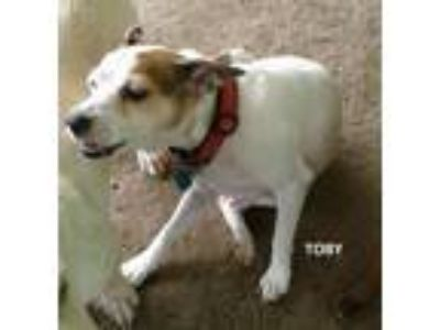 Adopt TOBY a Brown/Chocolate - with White Rat Terrier / Mixed dog in Mexia