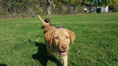 Labrador Retriever PUPPY FOR SALE ADN-64852 - Yellow Female Lab