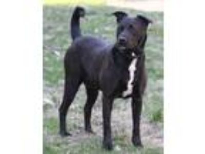 Adopt Domino a Black - with White Labrador Retriever / Mixed dog in Lafayette