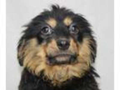 Adopt Pygmy a Cattle Dog, Australian Shepherd