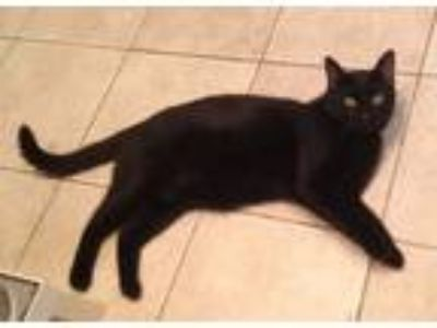 Adopt Jet a Domestic Short Hair