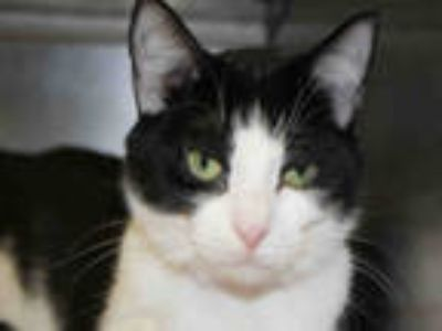 Adopt PHOEBE a White (Mostly) Domestic Shorthair / Mixed (short coat) cat in