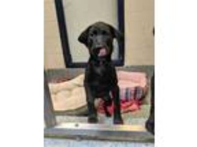 Adopt Ginger a Black Labrador Retriever / Mixed dog in Charleston, SC (25885151)