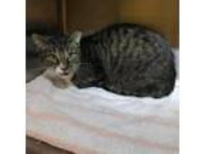 Adopt Rex a Domestic Short Hair