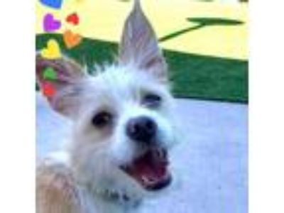 Adopt Mackie a Tan/Yellow/Fawn Terrier (Unknown Type, Small) / Mixed dog in San