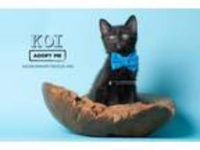 Adopt Koi a All Black Domestic Shorthair / Mixed (short coat) cat in Fort