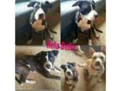 Adopt Hela a Brindle American Staffordshire Terrier / Mixed dog in Salem