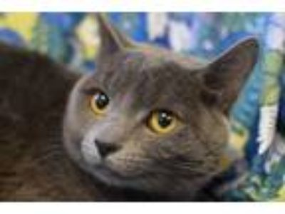 Adopt Grady a Russian Blue, Domestic Short Hair
