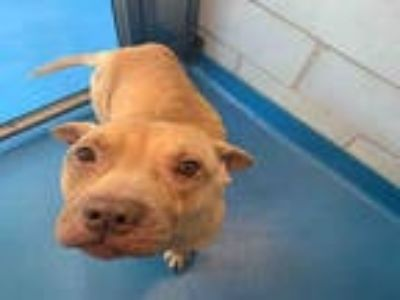 Adopt MERL a Tan/Yellow/Fawn American Pit Bull Terrier / Mixed dog in Dallas