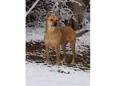 Adopt Tahnee a Tan/Yellow/Fawn German Shepherd Dog / Labrador Retriever / Mixed