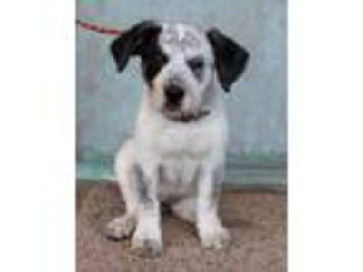 Adopt Willow a Australian Cattle Dog / Blue Heeler, Hound