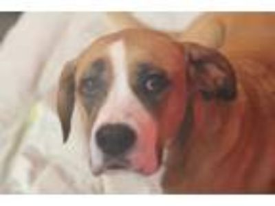 Adopt Edna Grace a Tan/Yellow/Fawn Hound (Unknown Type) / Boxer / Mixed dog in