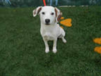 Adopt DEXTER a White - with Tan, Yellow or Fawn Beagle / Mixed dog in Winter