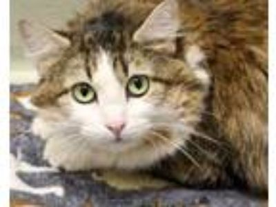 Adopt Laya a Domestic Long Hair