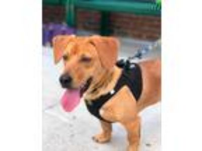 Adopt Gary a Tan/Yellow/Fawn Dachshund / Shepherd (Unknown Type) dog in