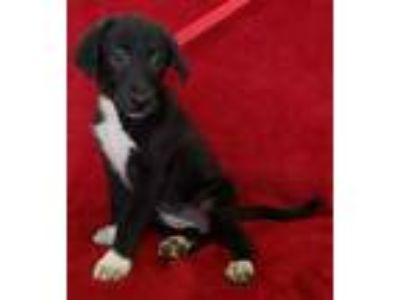 Adopt Bitts a Black Labrador Retriever / Mixed dog in New Iberia, LA (25598868)