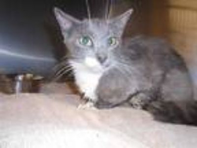 Adopt Cat a Gray or Blue (Mostly) Domestic Shorthair / Mixed (short coat) cat in