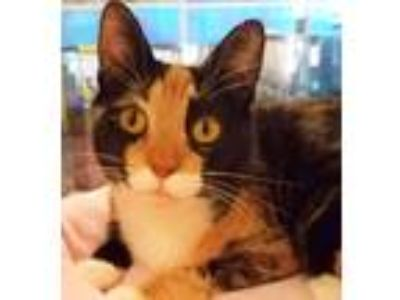 Adopt Sweet Ginger- RC PetSmart a Calico or Dilute Calico Domestic Shorthair