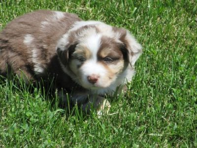 Australian Shepherd PUPPY FOR SALE ADN-80124 - BLUE EYES Australian Shepherd Puppies