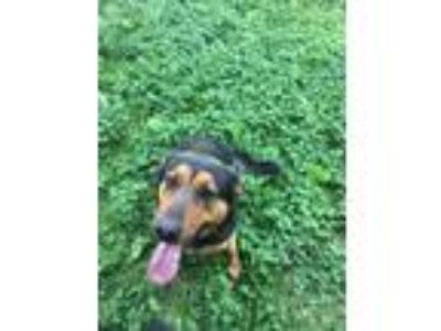 Adopt Zelda a Brown/Chocolate - with Black German Shepherd Dog / Rottweiler /