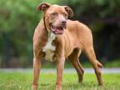 Adopt LALA a Brown/Chocolate American Pit Bull Terrier / Mixed dog in Long
