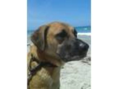 Adopt Dakota a Black Mouth Cur, Labrador Retriever