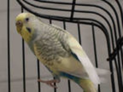 Adopt LYLA a Blue Parakeet - Other / Mixed bird in Loveland, CO (25311326)