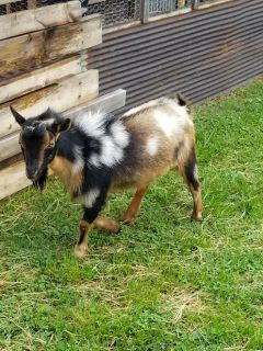 Registered Nigerian dwarf buck