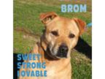 Adopt Brom a Labrador Retriever / Pit Bull Terrier / Mixed dog in Washburn