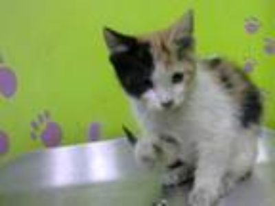 Adopt AIRES a Calico or Dilute Calico Domestic Shorthair / Mixed (short coat)