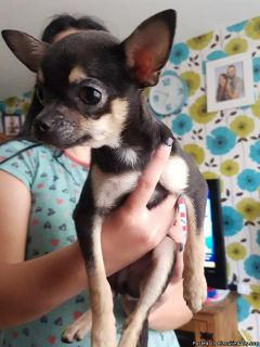 Chihuahua smooth coat puppy