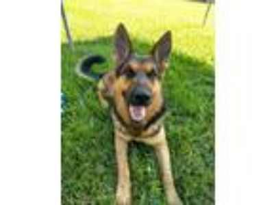 Adopt Dakota a German Shepherd Dog / Mixed dog in Davie, FL (24771486)