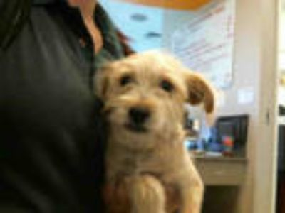 Adopt SCRUFFY a Tan/Yellow/Fawn Cairn Terrier / Mixed dog in Plano
