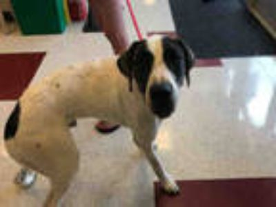 Adopt CLYDE a White Great Dane / Mixed dog in Plano, TX (25788095)