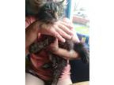 Adopt No name a Tiger Striped Domestic Longhair cat in Elton, PA (25536748)