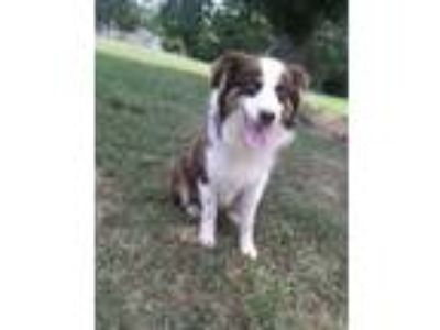 Adopt Floof a Brown/Chocolate - with White Australian Shepherd / Mixed dog in