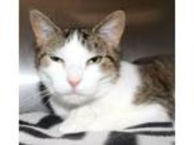 Adopt Connie a Domestic Short Hair