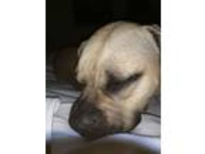 Adopt Bella a Tan/Yellow/Fawn - with White American Pit Bull Terrier dog in Port