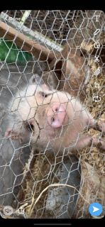 Small pig for sale.