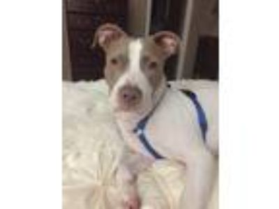 Adopt Frankie a White - with Brown or Chocolate Staffordshire Bull Terrier /