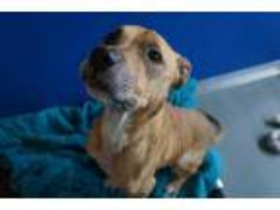 Adopt LINDZEY a Tan/Yellow/Fawn - with White Labrador Retriever / Mixed dog in